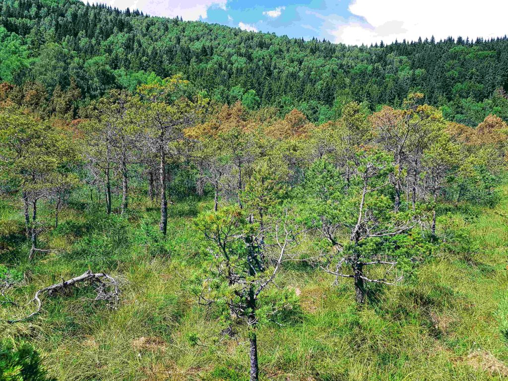 Vegetation in acid soil of Mohos Peat Bog