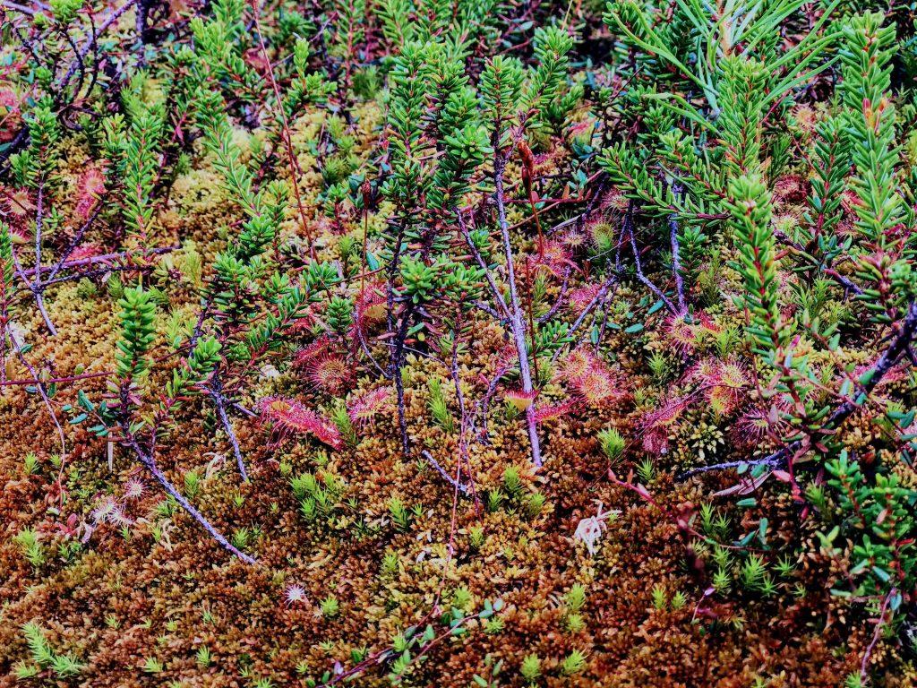 Carnivorous plants in Mohos Peat Bog