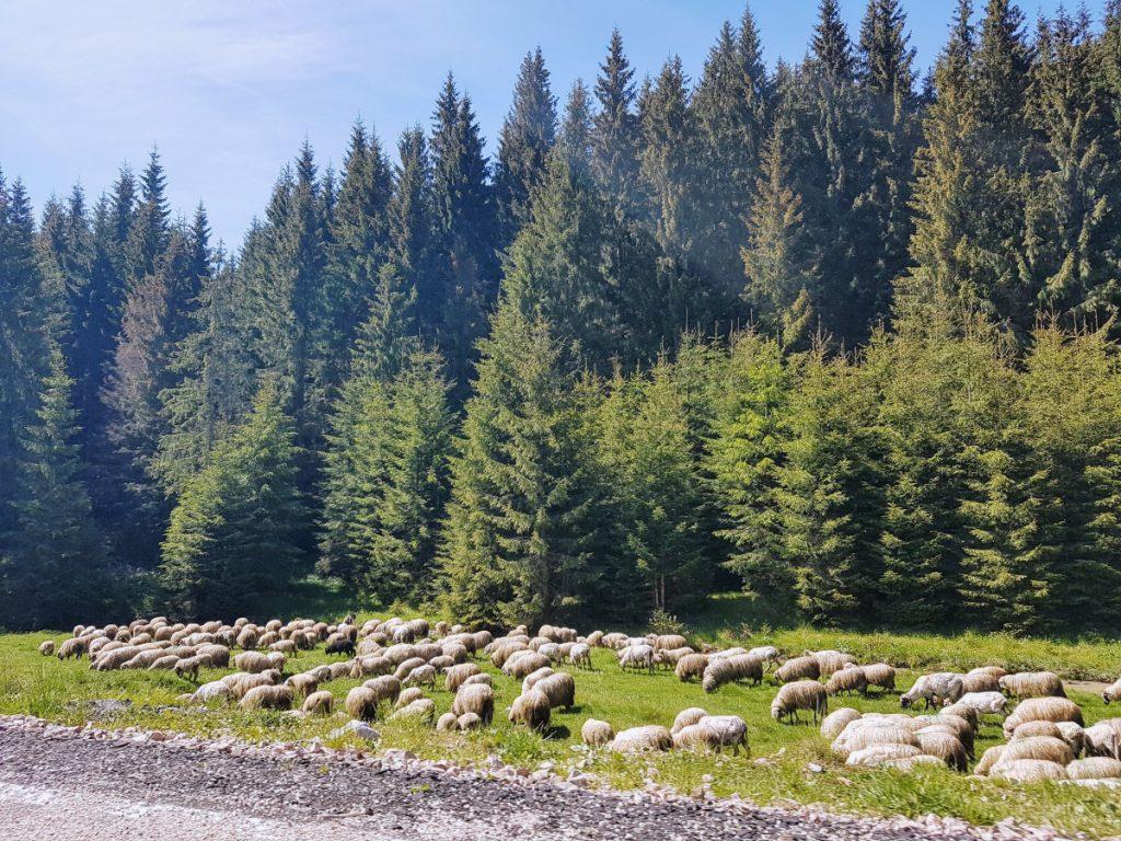 Flock of sheep on TransApuseni