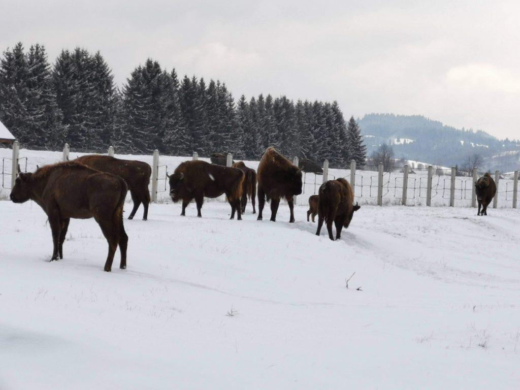 """Aurochs at Valea Zimbrilor Vama Buzaului"""" sanctuary"""