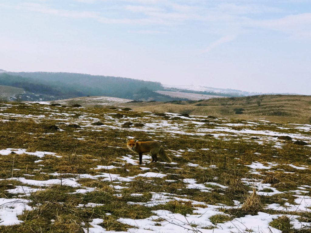 Fox on Transylvania Hill